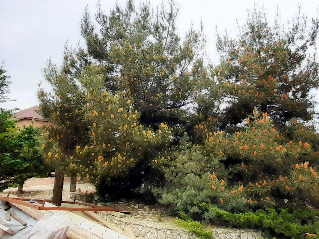 Кипарисы